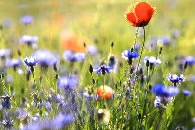 Bachove cvetne esence