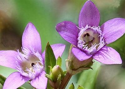 Encijan - Gentian (Gentiana amarelle)