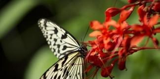 Živalski vodnik metulj