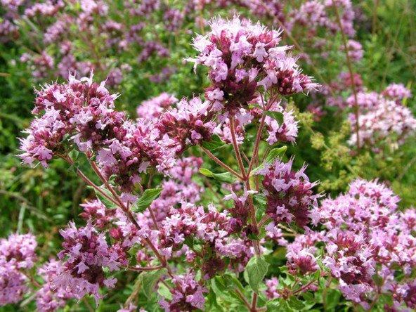 Začimbe – zdravilo za vas in za vaš vrt  Skupaj Za Zdravje, Človeka In Narav...