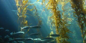 morske alge m