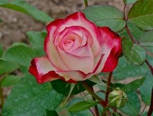 Založba Rosa