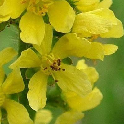 Bachove cvetne esence: 1. REPIK (Agrimony) 1