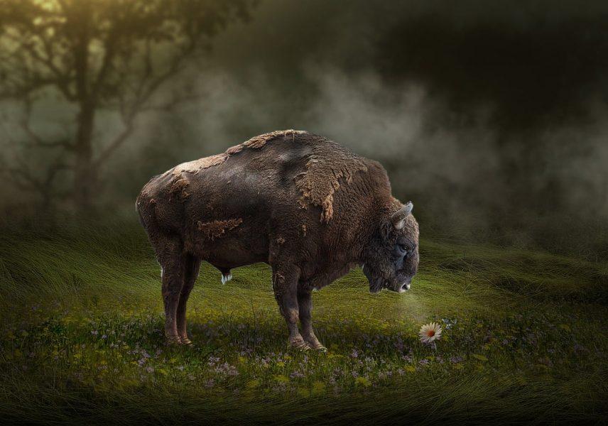 Živalski vodnik bizon 3