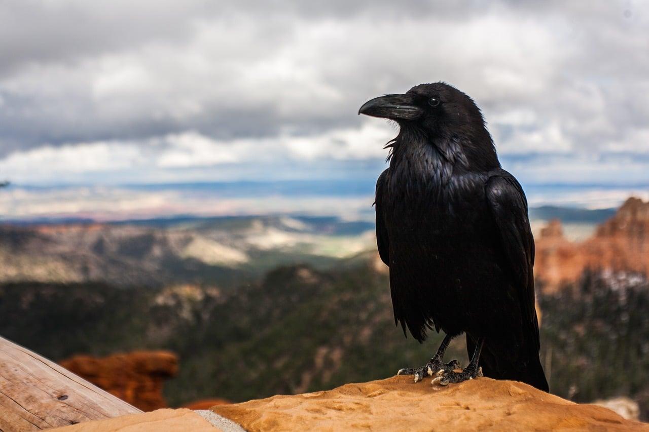 Živalski vodnik vrana
