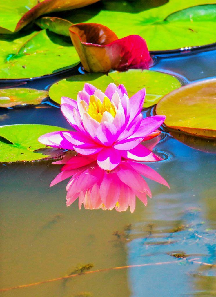 lotus-3442943_1920