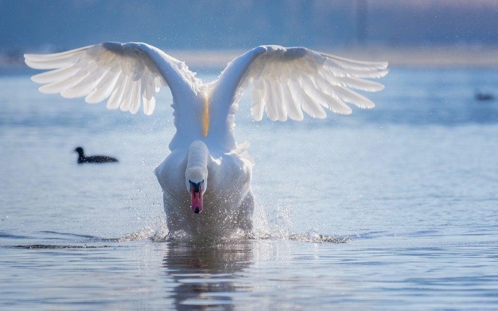swan-4028727_1920