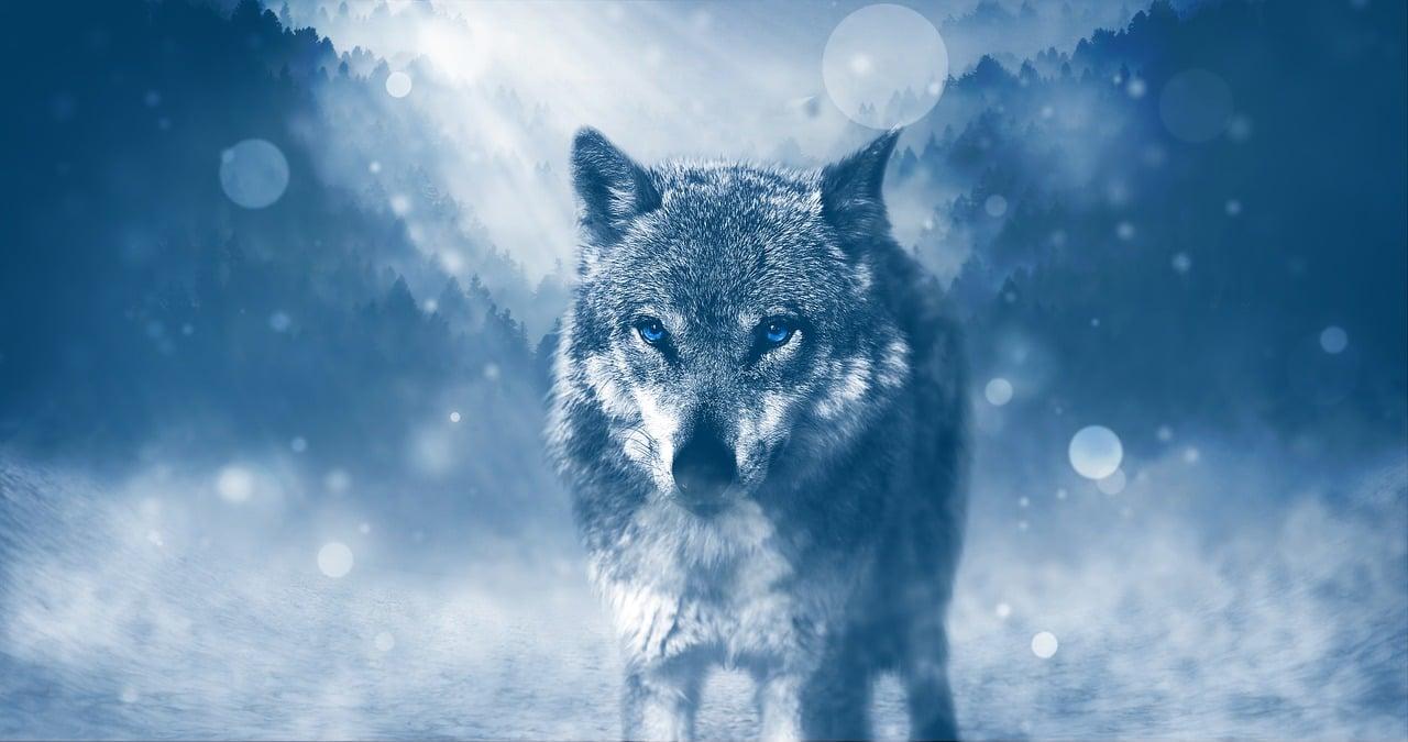 Živalski vodnik volk 7