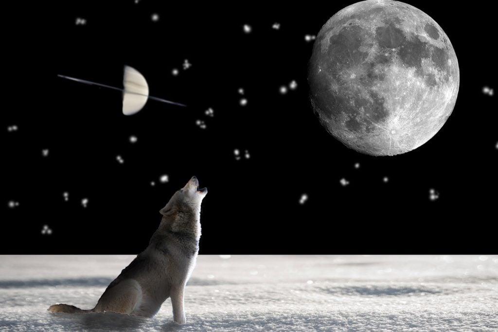 wolf-697736_1920